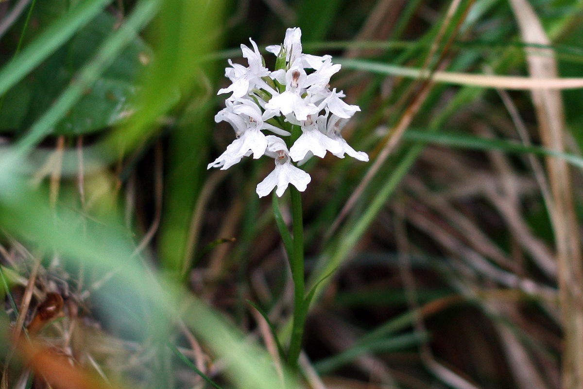 Photo of a white Common Spotted Orchid