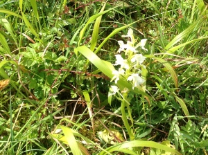 Butterfly Orchid on Bepton Down