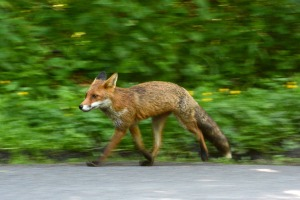bepton-fox-trot